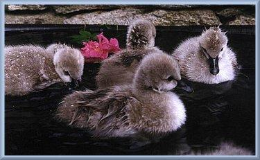 cynets baby swans trumpeters mute swans